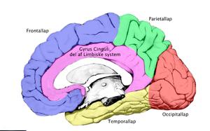storhjernens funktion